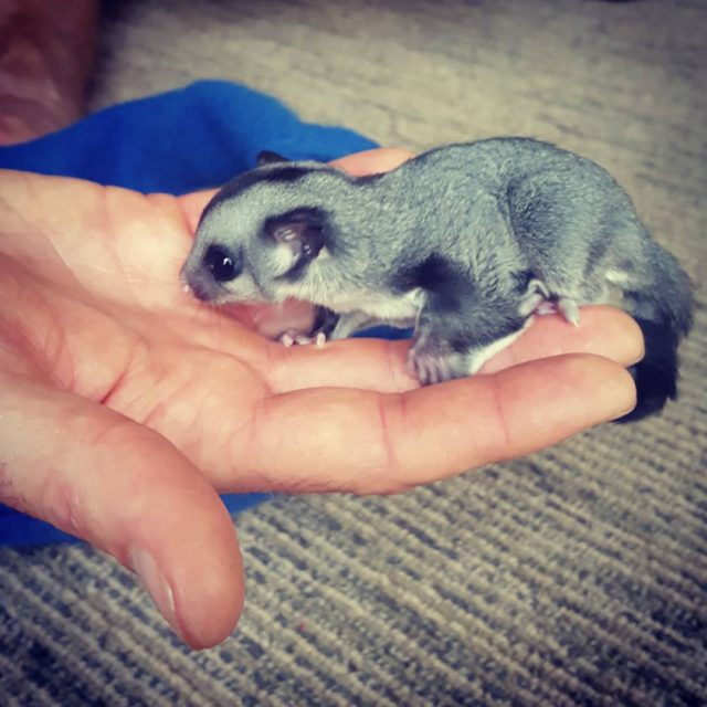 Meet the newest addition to our sugar glider family hellip
